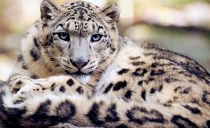 Living symbol: Tatarstan ecologists to present new concept of snow leopard breeding centre