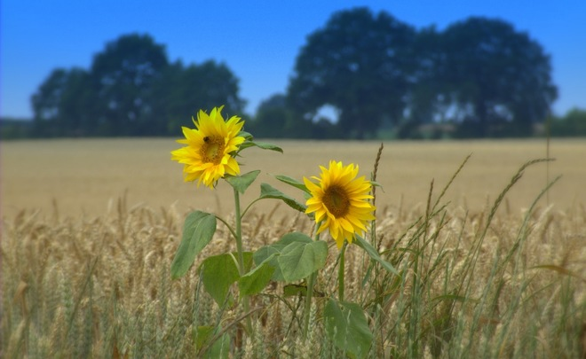 Russian wheat and sunflower rise in price due to cold weather