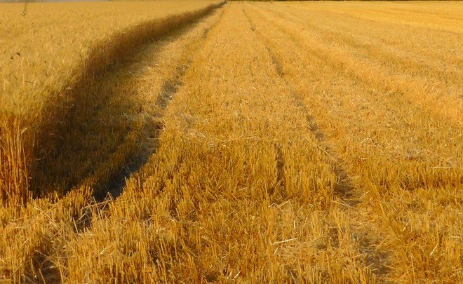 Bad weather to jeopardise Russia's grain yields