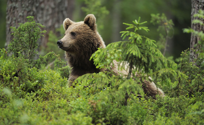 Backwoods: habitat of bear expands and gets closer to Kazan